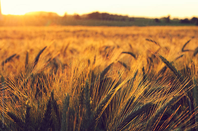 Grainfield at sunset by Urs Siedentop & Co for Stocksy United