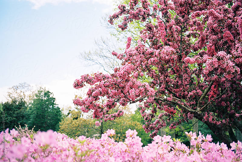 A Cherry Blossom tree blooms in the springtime alongside pink bushes by Joey Pasco for Stocksy United