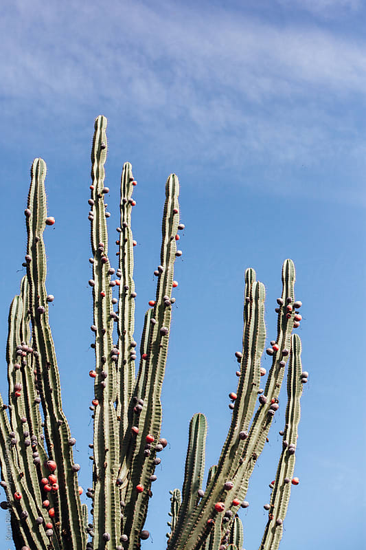 Cactus against Blue Sky by Kara Riley for Stocksy United