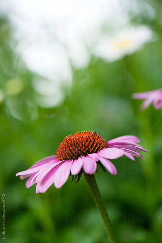 Pink and Orange Cone Flower by Leigh Love for Stocksy United
