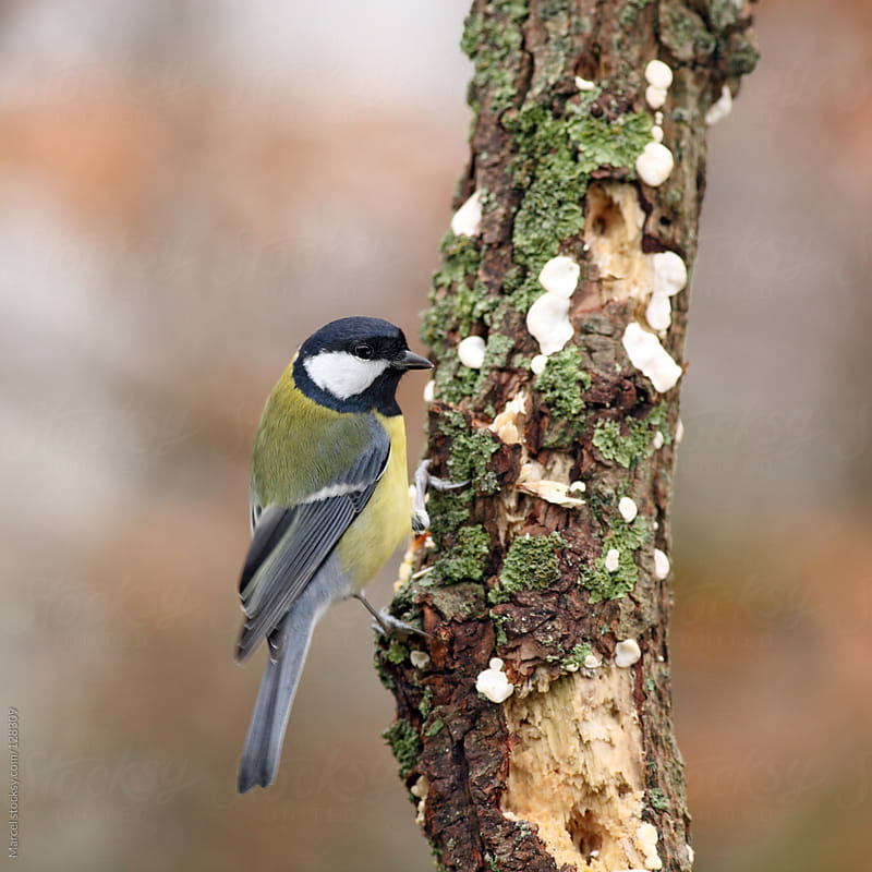 Great tit on a dead tree by Marcel for Stocksy United