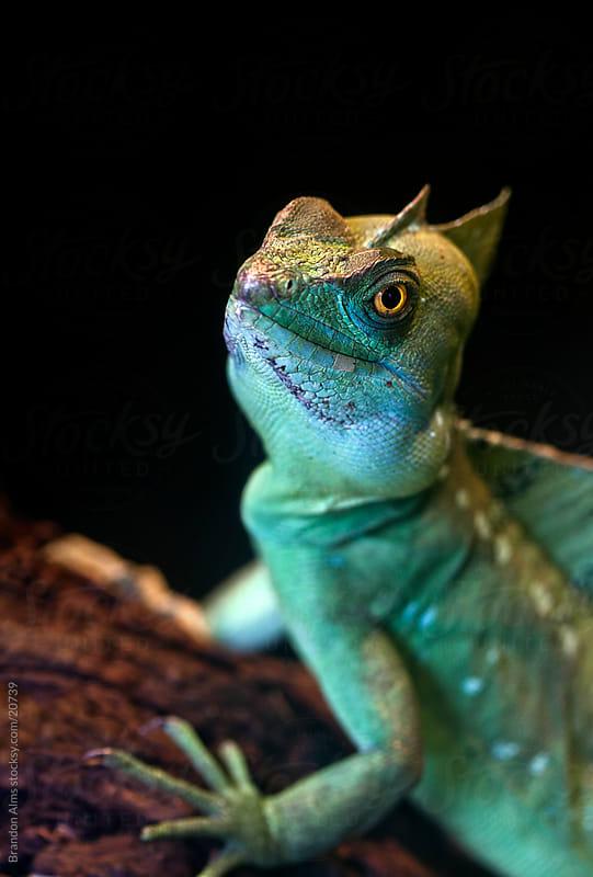 Green Basilisk Lizard Closeup by Brandon Alms for Stocksy United