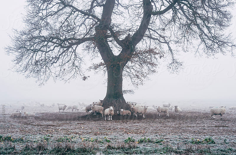 Sheep gathered round a tree on a frosty morning.  by Liam Grant for Stocksy United