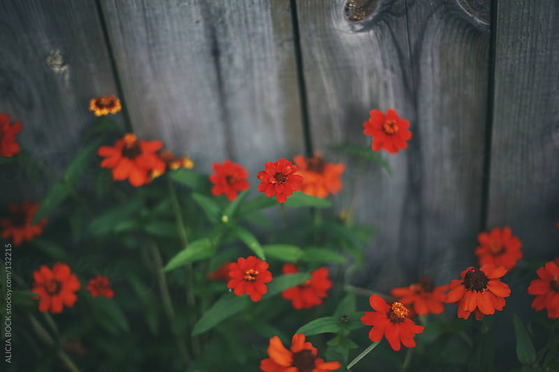 Zinnias Along A Fence by ALICIA BOCK for Stocksy United