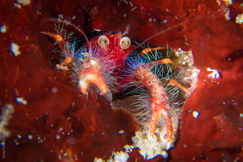 oliver's squat lobster by Song Heming for Stocksy United