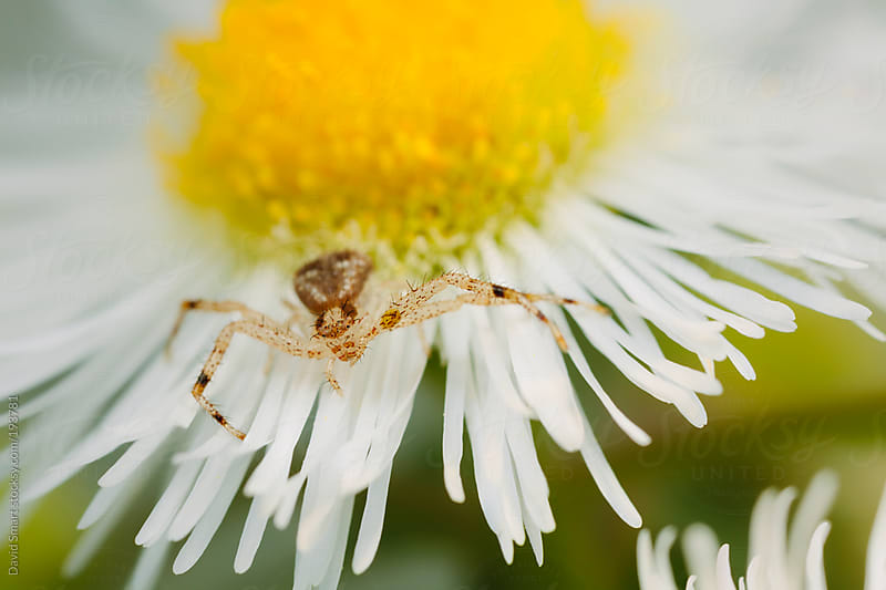 A Crab Spider on a Daisy Fleabane flower by David Smart for Stocksy United