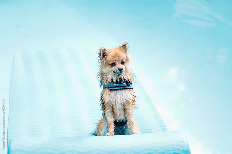 A Wet Pomeranian Puppy on a Raft by Taylor Kampa for Stocksy United