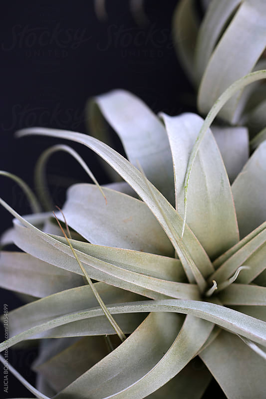 A Large Airplant With Silvery Leaves by ALICIA BOCK for Stocksy United
