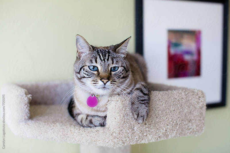 Siamese cat chillin' in her kitty condo looking bored by Carolyn Lagattuta for Stocksy United