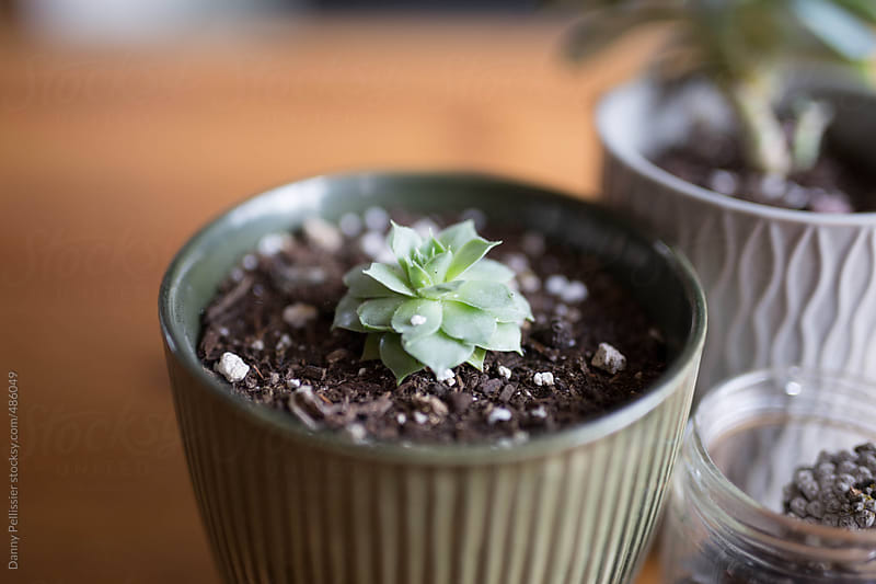 Succulents on the coffee table. by Danny Pellissier for Stocksy United