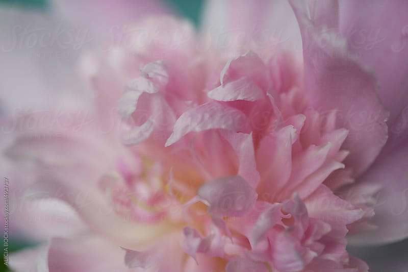 Close Up Of A Pink Peony Flower In Bloom by ALICIA BOCK for Stocksy United