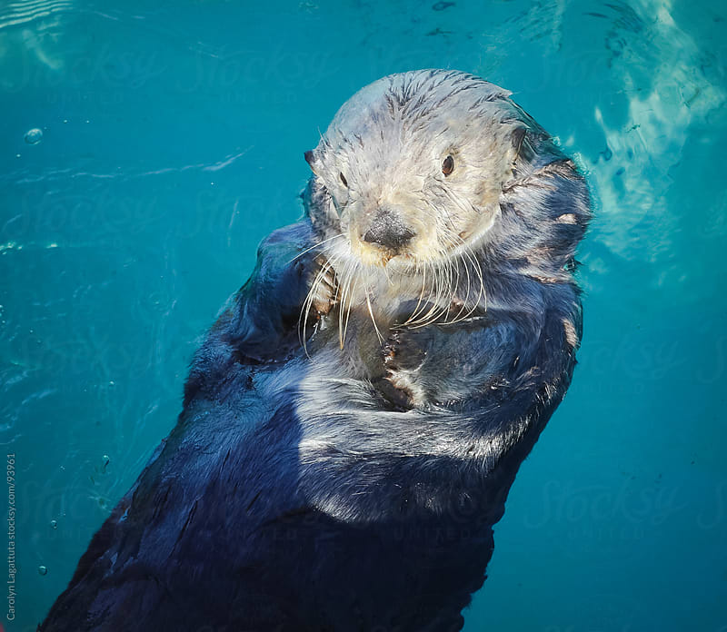 Cute sea otter floating on his back in the blue, ocean water by Carolyn Lagattuta for Stocksy United