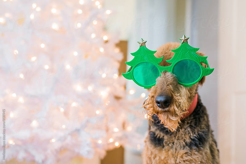 Airedale Terrier wearing funny Christmas tree glasses. by Melissa Ross for Stocksy United