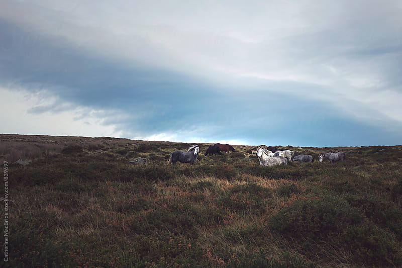 Wild Horses on the Dublin Mountains... by Catherine MacBride for Stocksy United