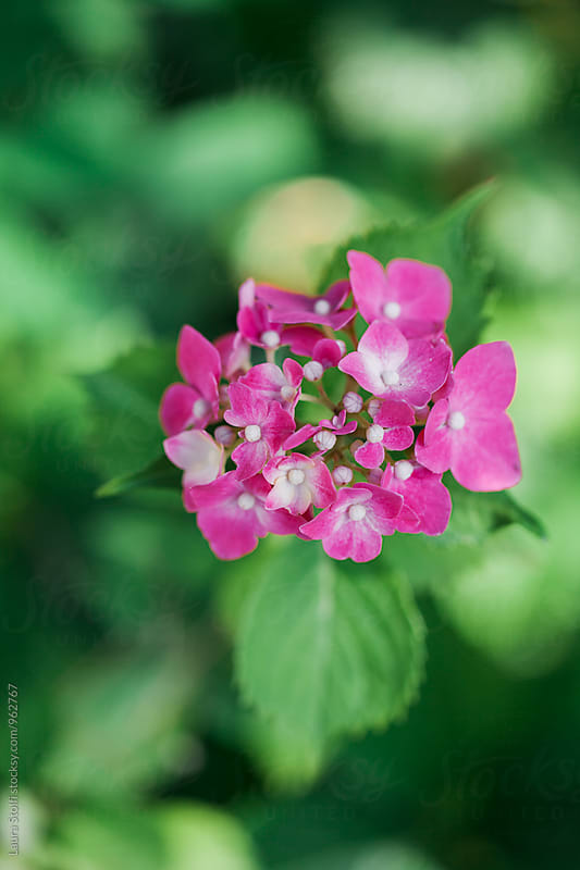 Pink hydrangea cluster flowering, some buds are still closed by Laura Stolfi for Stocksy United