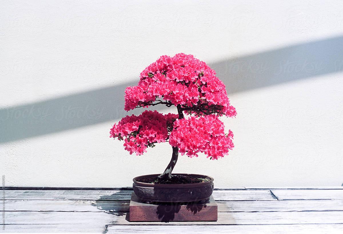 Colorful Pink Azalea Bonsai Tree In Bloom Stocksy United