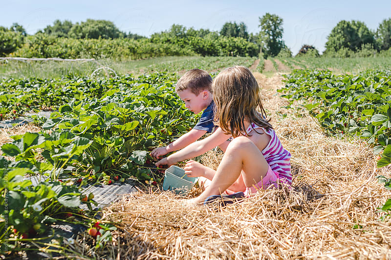 Two children picking strawberries together in a field by Lindsay Crandall for Stocksy United