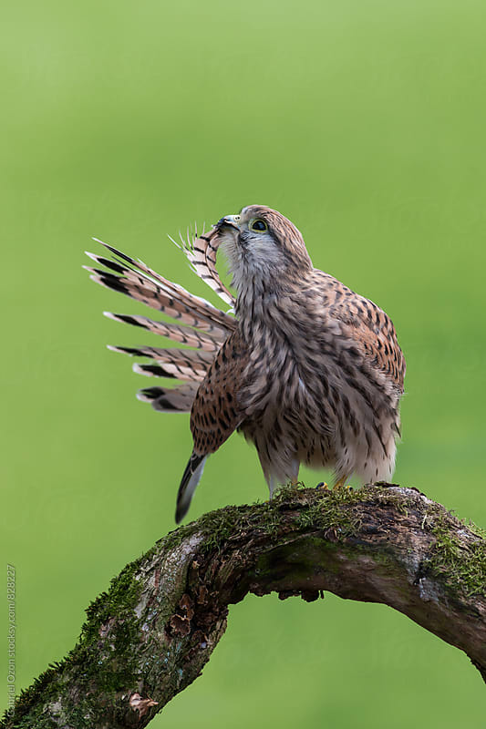 Common kestrel  by Gabriel Ozon for Stocksy United