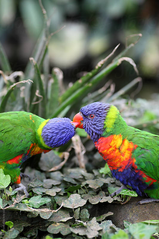 Rainbow lorikeets in love by Marcel for Stocksy United