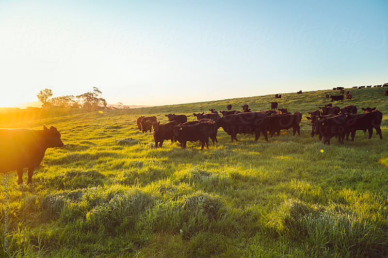 cattle in the field at sunset by Gillian Vann for Stocksy United