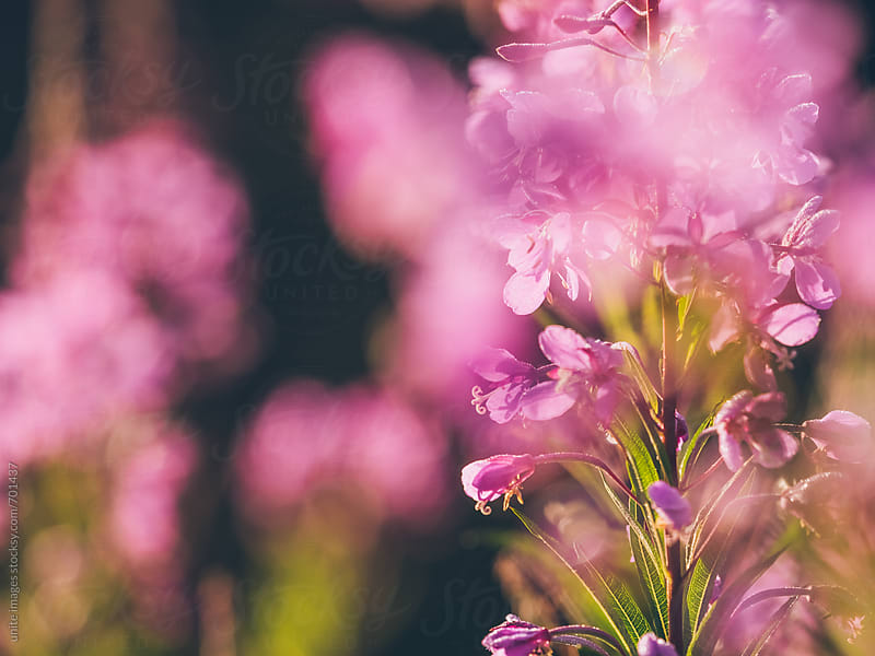wildflower pink by unite images for Stocksy United