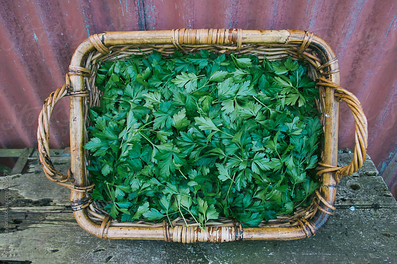 Organic Italian Parsley Just Harvested by Rowena Naylor for Stocksy United