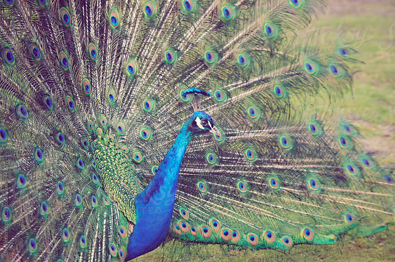 Mating Peacock showing off by Urs Siedentop & Co for Stocksy United