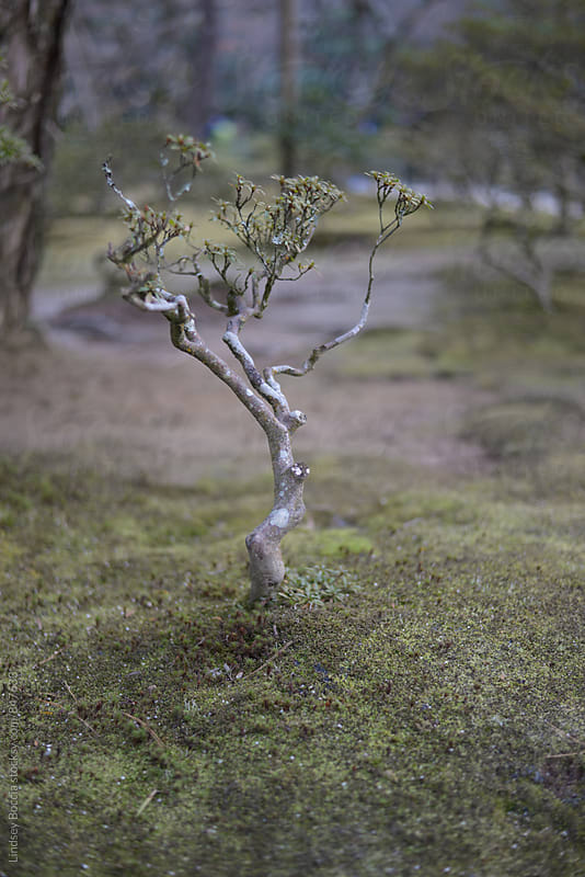 bonsai tree in ancient Kyoto temple by Lindsey Boccia for Stocksy United