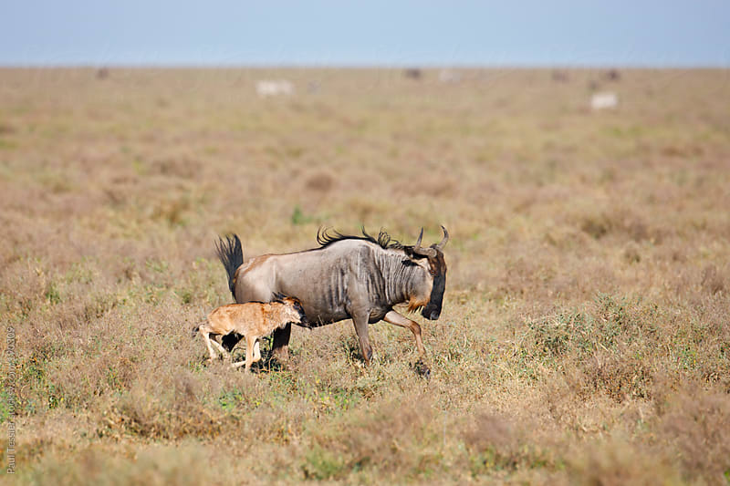 Wildebeest with Calf by Paul Tessier for Stocksy United