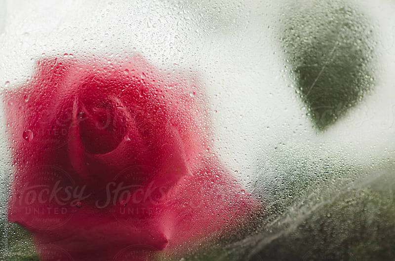 Rose with dew drops  by Cosma Andrei for Stocksy United