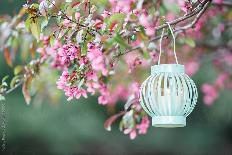 Lantern hanging from a tree by Melissa Ross for Stocksy United