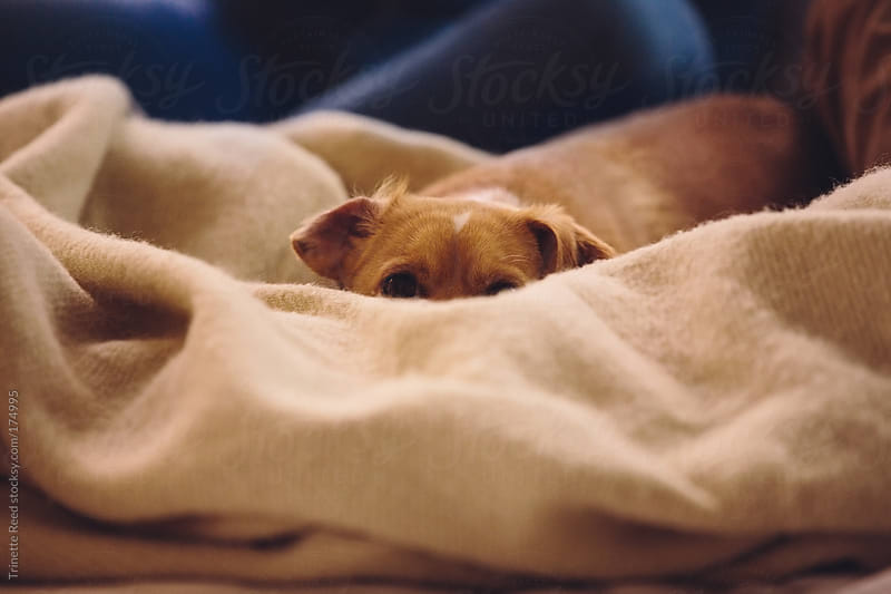 Portrait of dog hiding behind blanket on bed by Trinette Reed for Stocksy United