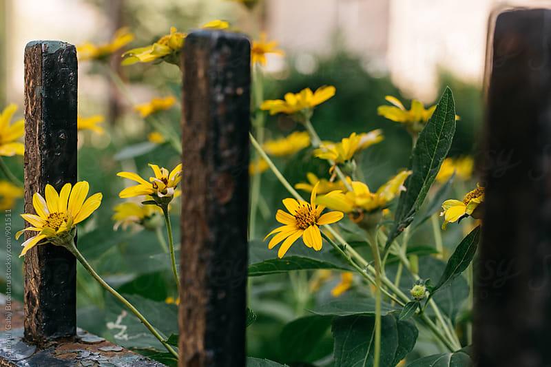 Heliopsis Sunflower behind an iron fence by Gabriel (Gabi) Bucataru for Stocksy United
