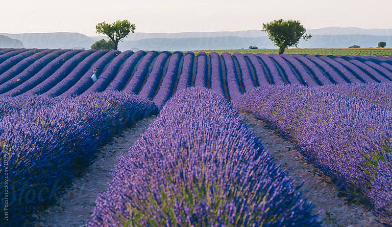 Provence, Lavender field at sunset, Valensole Plateau by Juri Pozzi for Stocksy United