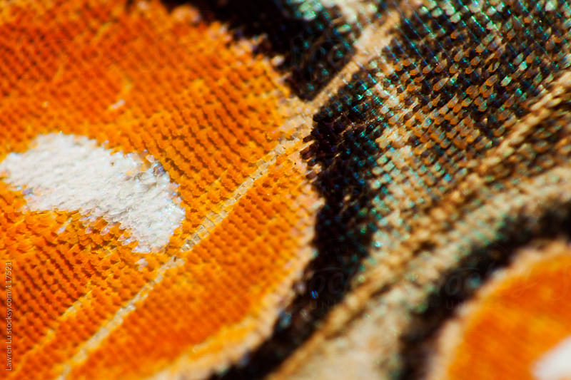 Macro detail colors of butterfly wing by Lawren Lu for Stocksy United