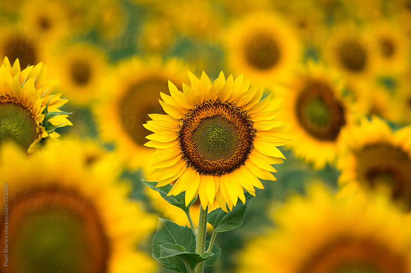 Sunflower field by Pixel Stories for Stocksy United