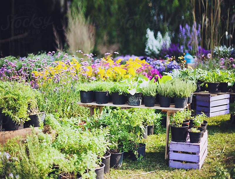 Flowers, herbs and vegetable plants for sale at fair in northern Italy by Laura Stolfi for Stocksy United
