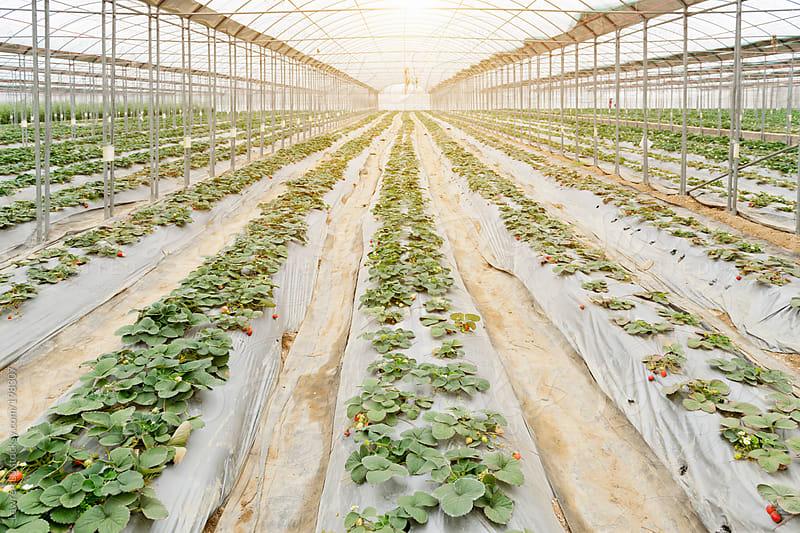 Strawberries growing in greenhouse by Lawren Lu for Stocksy United
