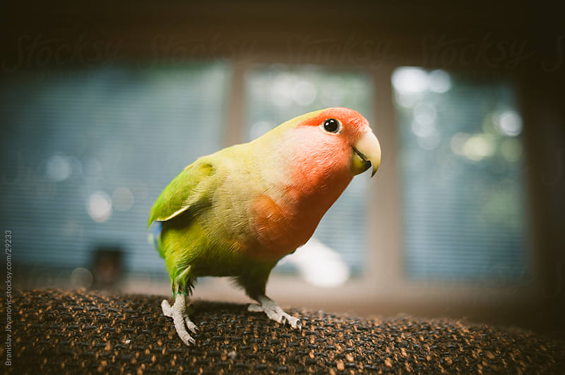 Curious parrot by Brkati Krokodil for Stocksy United