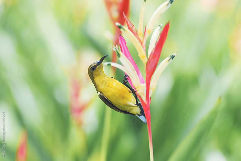 Olive-backed sunbird by Alita Ong for Stocksy United
