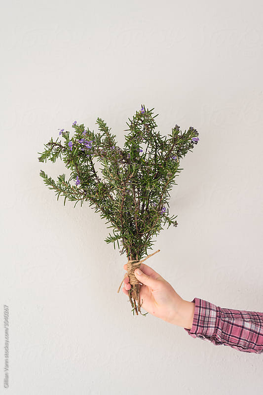 hand holding bouquet of rosemary on a plain background by Gillian Vann for Stocksy United