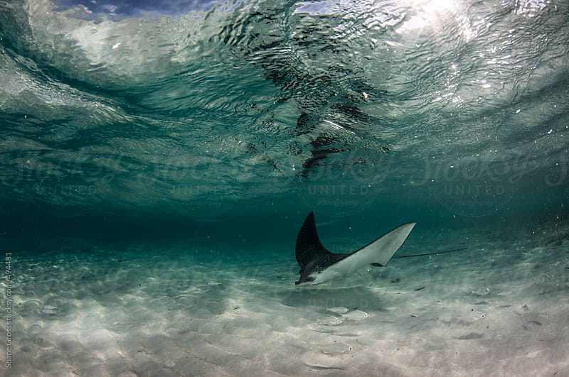 Eagle Ray Seascape in Shallow Water by Shane Gross for Stocksy United