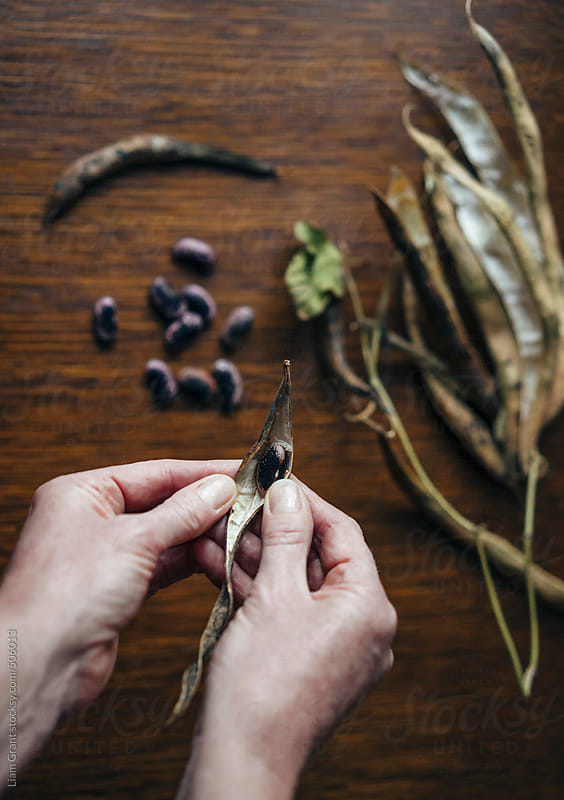 Removing seeds from Runner Bean pods, to store for sowing the following season. by Liam Grant for Stocksy United