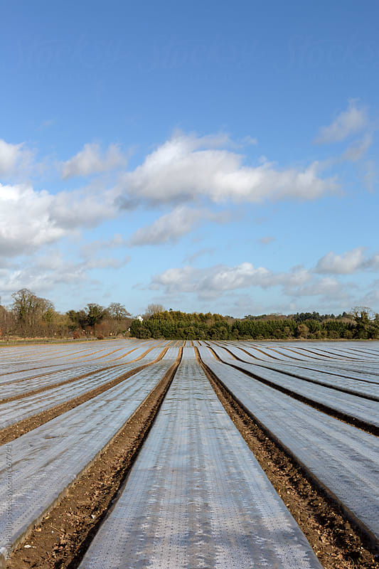 Lines of plastic mulch used to modify crop microclimates and help young plants by Paul Phillips for Stocksy United
