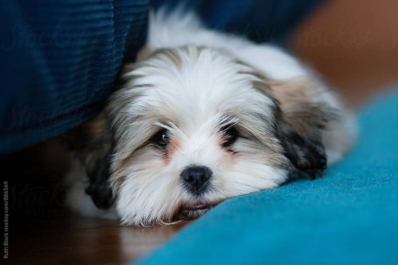 Lhasa apso puppy by Ruth Black for Stocksy United