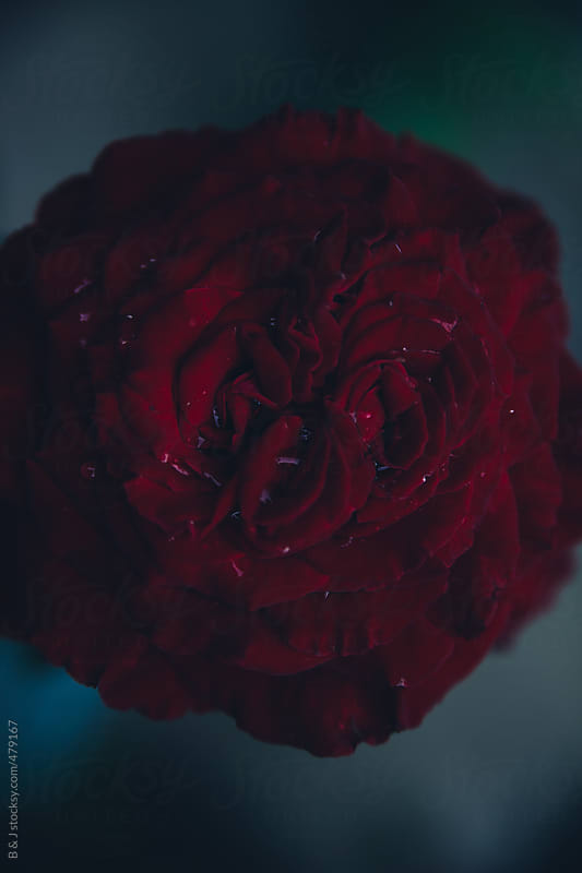 Red rose in the dark by B & J for Stocksy United