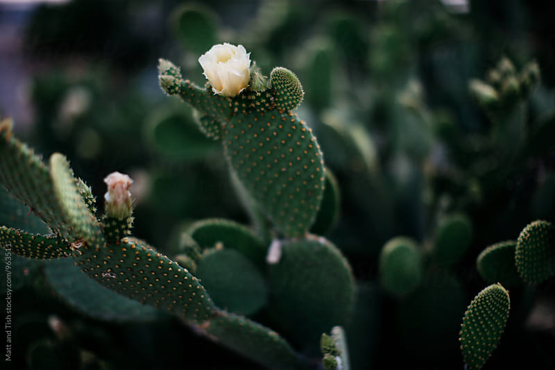 Green cactus with yellow flower by Matt and Tish for Stocksy United