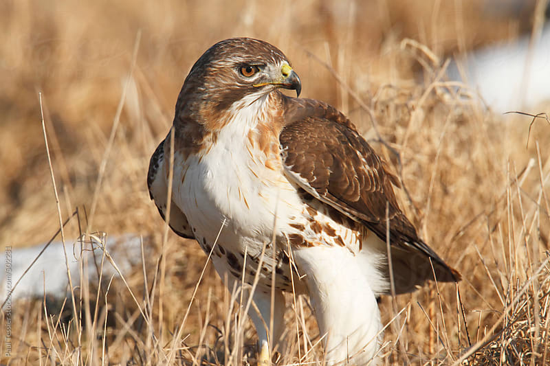 Red-tailed hawk by Paul Tessier for Stocksy United