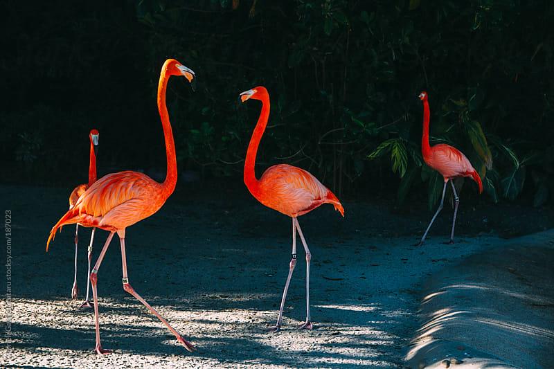 Flamingos by Gabriel (Gabi) Bucataru for Stocksy United