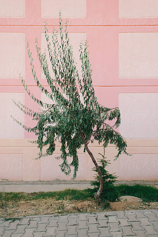 Single Tree with a Pink Building by Caleb Thal for Stocksy United